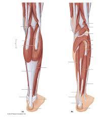 Upper Leg Muscle Chart Leg Muscles Diagram Wiring Diagram Symbols And Guide