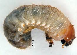 Open Access Article On Masked Chafer Grubs In Turfgrass Explains