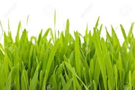 Closeup Of Green Tall Grass Blades On White Background Stock Photo