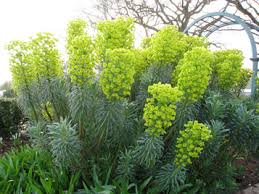 Euphorbia characias subsp. wulfenii | Mediterranean spurge/RHS ...