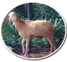 Goat Weight Chart Breeds Of Sheep And Goat