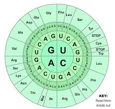 Use Your Codon Chart To Determine The Amino Acid Sequence Genetic Code Bioninja