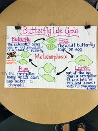 Butterfly Life Cycle Anchor Chart Butterfly Life Cycle