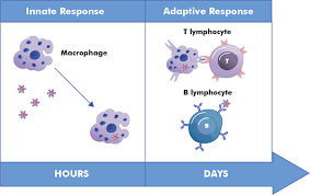 Immunology Research Innate And Adaptive Response