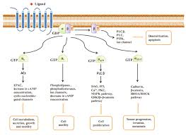 Gpcr Signaling Dissection Of Aberrant Gpcr Signaling In Tumorigenesis A