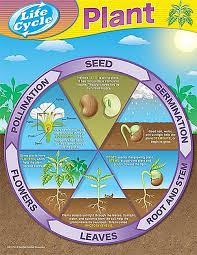 Plant Life Cycle Flow Chart Bookfanatic89 Plant Reproduction Cycle