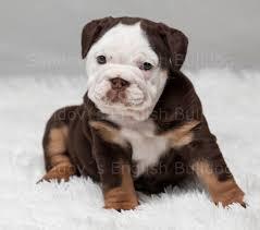 akc chocolate tri english bulldog
