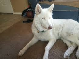 white husky wolf mix with blue eyes. Brilliant Mix Slim Chest Slanted Almond Eyes Long Paws And Black Claws Long Snout  Furry Ears Even At Lowcontent It Is Quite Easy To Tell These Are Wolfdogs With White Husky Wolf Mix Blue Eyes B