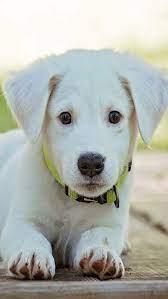 Puppy lobe, cute, dog, love, panda, pet ...