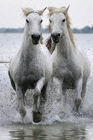 wild white horses running free. Fine Horses Running Free With Wild White Horses Free A