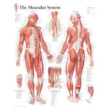 Neck Muscle Chart Male Muscular System Chart