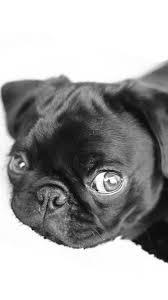 black pug wallpaper tumblr. Simple Pug Cute Pugs Puppies IPhone 6 Wallpaper HD  Animal For  Throughout Black Pug Tumblr T