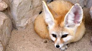 fennec fox. Fine Fox The Fennec Fox Is The Smallest Of All Worldu0027s Foxes And Fennec Fox C