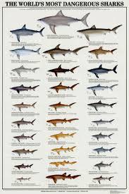 Types Of Sharks Chart Shark Species Shark Room Shark Bedroom Shark