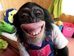 プリン ちゃん チンパンジー