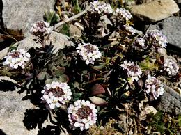 Aethionema saxatile, Burnt Candytuft: identification, distribution ...