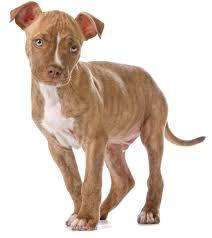 brown red nose pitbull puppies. Fine Pitbull Red Nose Pitbull With Brown Red Nose Pitbull Puppies P