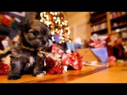 cute christmas puppies. Perfect Cute Puppy Christmas For Cute Puppies I