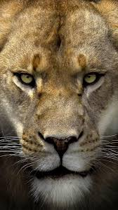 Lion HD Face iPhone Wallpapers ...