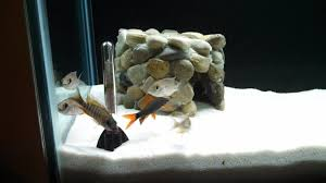 Funny Fish Tank Decorations Cichlid Forum O New 55 Gallon African Cichlids Tank Decor