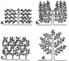 Espalier Trees For Your Garden  Espalier Fruit Trees Fruit Trees Growing Cordon Fruit Trees