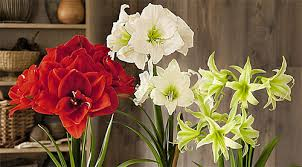 Paper White Flower Bulb Growing Bulbs Indoors Forcing Bulbs Forcing Indoor Forcing