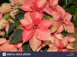 Premium Picasso Weihnachtsstern Rosa Stockfoto Bild