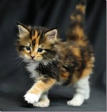 fluffy baby calico kittens. Perfect Calico Fluffy Calicooh My I Want A Kitten In Baby Calico Kittens
