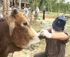 cán bộ thú y kiểm tra dịch bệnh cho đàn trâu bò ở xã xuân trạch
