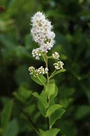 Spiraea alba - Michigan Flora