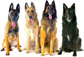 belgian shepherd dogs groenendael tervuren malinois laekenois