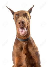 Large Red Doberman Pinscher Dog ...
