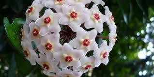 Between 1 to 4 leaves. Flor De Cera Hoya Carnosa Cultivando