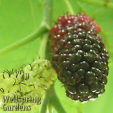 Mulberry Tree  Mulberry Tree Facts And Information On The Non Fruiting Mulberry Tree