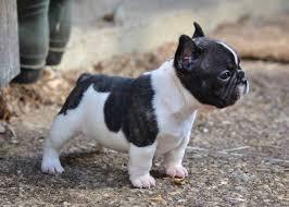 french bulldog puppy  frenchies  pinterest  mini french