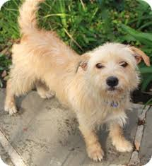 wire haired terrier mix. Wonderful Wire Norwalk CT  Fox Terrier Wirehaired Meet Veronica Adoption Pending A  Dog For Adoption Inside Wire Haired Mix I