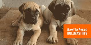Bullmastiff Height And Weight Chart How To Breed Bullmastiffs Background Breeding Practices