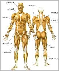 Pictures Of Body Muscles Anatomy System Human Body