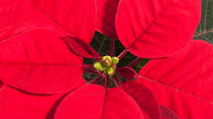 Weihnachtsstern Pflegen Fünf Tipps Für Längere Freude Am