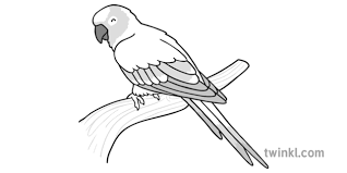 Sun Conure Growth Chart Sun Conure Parrot Black And White Illustration Twinkl