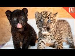 Кусь! Малыши пантера и леопард - YouTube