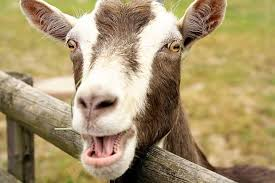 funny goat laughing without teeth