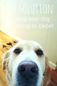 dog on rug how to keep dogs from on carpet natural carpet spray