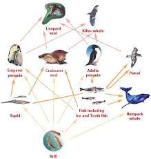 emperor penguin food chain. Wonderful Emperor What Is A Food Web To Emperor Penguin Food Chain U