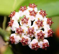 Hoya kerri   Flowers, Hoya plants, Plants