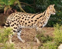 Serval Cat Stockfoto und mehr Bilder von Einzelnes Tier - iStock