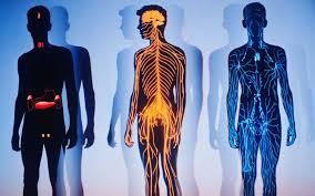 Строение и функции организма человека общая характеристика Строение и функции организма человека