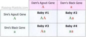 Rabbit Genetics Easy To Understand Basics Of Genetic
