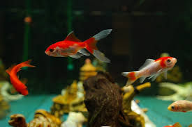 petco goldfish. Perfect Goldfish Photo Via Pixabay To Petco Goldfish H