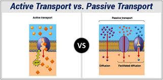 Active Vs Passive Transport Venn Diagram Difference Between Active Transport And Passive Transport
